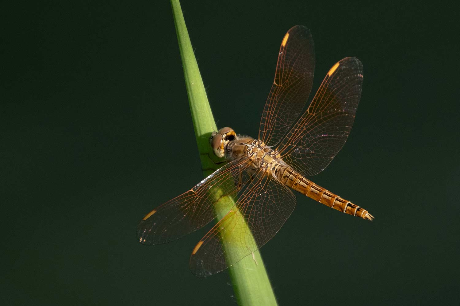 Thailand nature - dragonfly
