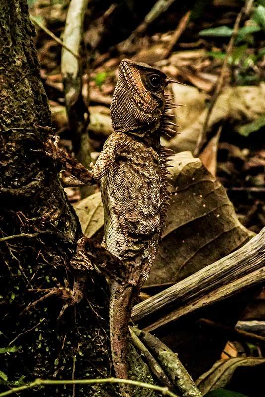 Khao Sok Trekking tour - Lizard